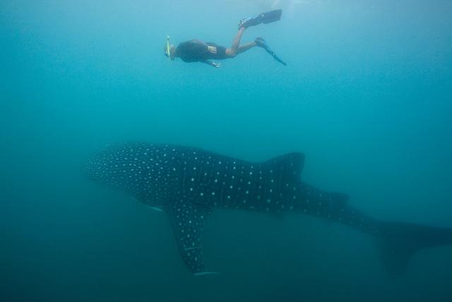 Cuộc giao lưu kì thú với cá mập voi tại Donsol